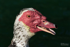 Muscovy Drake (Cairina moschata) (Don Dunning) Tags: cairinamoschata animals birds california canon7dmarkii canonef100400mmisiiusm drake duck elkgrove elkgroveregionalpark muscovyduck unitedstates