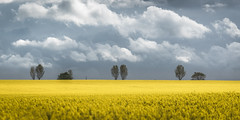 Time to water the plants! (Nathan J Hammonds) Tags: sky skies moody clouds cloudy rain spring shower showers rapeseed yellow field tree trees contrast kent uk landscape nikon d750