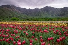 kashmir (sandilesmana28) Tags: flower tulip india kashmir red green yellow pink