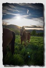 Un Cheval peut en cacher un autre (jamesreed68) Tags: cheval alsace nature herbe 68 grandest hautrhin canon eos 600d