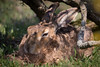 Havergate Hare (ToriAndrewsPhotography) Tags: suffolk wildlife trust havergate island rspb hare brown photography andrews tori snoozing sunny gorse