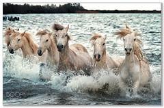 Aqua Aerobics !!!! .... (KevinBJensen) Tags: france camargue horses nature animals fuji xh1 100400mm paul keates risu