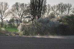 Group travel (hanschristian_nielsen) Tags: animal deer fallowdeer spring flower tree fejø denmark