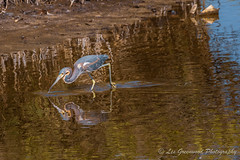 Short Walk-1 (Les Greenwood Photography) Tags: bird water earing eating pelican herring refuge florida