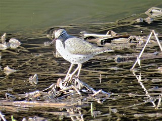 Spotted Sandpiper   IMG_7615
