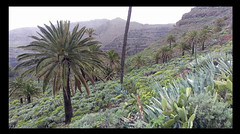 Palmen / Palm Tree (Sam H. Maas) Tags: palmen palmtree natur nature outdoor ausen totale berg mountain lagomera landschaft landscape