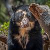 Bearly Hiding (helenehoffman) Tags: spectacledbear bear alba conservationstatusvulnerable mammal sandiegozoo tremarctosornatus ursidae southamerica carnivore andeanbear animal alittlebeauty coth5
