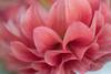 Petals - dreams (Enio Godoy - www.picturecumlux.com.br) Tags: niksoftware saltosp sonyalpha sony02 flower viveza24732151131067 estersgarden sony clouseup sonyalpha6300 petals macro