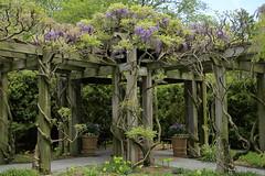 2P5C3520Aweb (C JRCook) Tags: wisteriagarden trellis garden wisteria vines longwood gardens kennettsquare springgreen