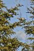 The Chickadee and The Moon (Lindaw9) Tags: spruce trees chickadee moon evening sky blue bird