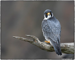 Palisades Peregrine Falcon (EXPLORE, April 2, 2018 #30) (RKop) Tags: peregrinefalcon alpine newjersey raphaelkopanphotography d500 nikkor600f4evr 14xtciii