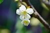 サクランボ(佐藤錦)の花