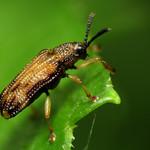 Hispine Leaf Beetle thumbnail