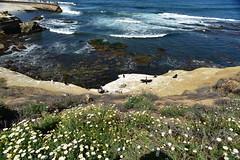 La Jolla (D70) Tags: sandiego california pacific ocean pelican gopher flowers village san diego seal