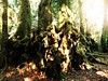 enormous (Grenzeloos1) Tags: antarcticbeechtrees nothofagusmoorei springbrooknationalpark goldcoast