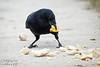 Corneille (welchomestef) Tags: corneille crow frite fries