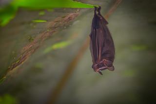 Bat hanging under banana leaf