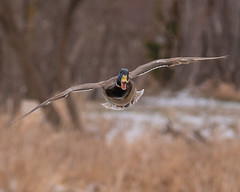 Inbound... (ragtops2000) Tags: water cold snowy april duck drake mallard flying face cute expression spring detail head beak loud chatter quacking wings colorful fun noisy