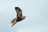 Red Kite (Hugobian) Tags: bird birds prey nature wildlife fauna stilton flight pentax k1 red kite