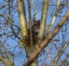 One proud mama (first pictures) (wesleybarr1962) Tags: owl owlet greathornedowl baby nest bubovirginianus greathorned