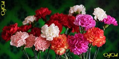 №532. My Birthday's flowers (OylOul) Tags: flower 2018 q2