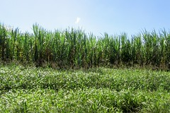 Sugarcane field (Mabelín Santos) Tags: sugar sugarcane