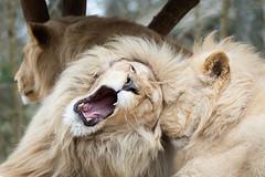 Lion (Cloudtail the Snow Leopard) Tags: tier animal säugetier mammal cat big katze groskatze raubkatze lion löwe panthera leo predator beutegreifer weiss weisser white zoo amneville