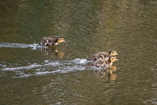 Duckling Race Day on the Lagan
