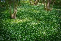 Forest covered with wild garlic (enneafive) Tags: garlic wild zammelen kortessem limburg belgium forest wood green white flowers light fujifilm xt2