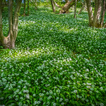 Forest covered with wild garlic thumbnail