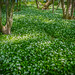 Forest covered with wild garlic