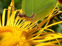 Zitronenfalter (libra1054) Tags: zitronenfalter commonbrimstone cedronella citron schmetterlinge farfalle papillons butterflies mariposas borboletas insects insekten insectos insetti insectes macro outdoor nature 7dwf