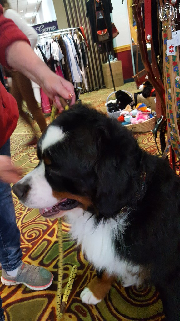 Best Bernese Mountain Dog National Dog Show