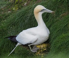 Gannet - Now what do I do? (kc02photos) Tags: gannet morusbassanus bemptoncliffs yorkshire england uk birdphotography