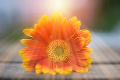 At Sunset... (KissThePixel) Tags: sunset gerber orange flower flowers garden cottage cottagegarden bokeh sunlight sunshine sunbeam april spring nikon nikond750 50mm f14 macro macrowednesday