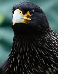 Bruno.. (mickb6265) Tags: wilstead birdofpreycentre herringsgreenfarm bruno caracara