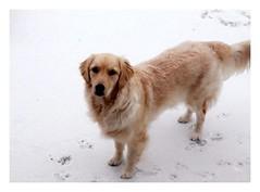 Album Chiens Clients Janvier-Avril 2018 (25) (Dalmatien-Golden-Braque) Tags: dalmatien goldenretriever braquedeweimar chien carcassonne elevage eleveur animaux dog breader