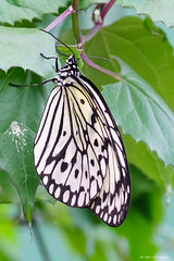 Rice paper butterfly (dpsager) Tags: butterfly chicago dpsagerphotography ideaieuconoe illinois judyistockbutterflyhaven peggynotebaertnaturemuseum ricepaperbutterfly