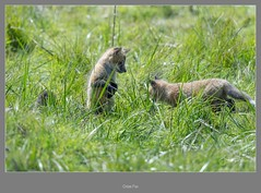 Cross Fox (frankpaliphotography) Tags: silver fox winter cute mammal young vulpes one background nature snow fur looking gray wild wildlife animal predator crossing furry park cross green isolated red crossfox white
