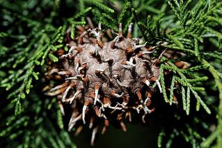 Cedar rust fungus