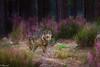 El lobo entre el brezo / the wolf among the heather (tmuriel67) Tags: lobo wolf sierradelaculebra zamora spain fauna outdoors