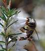 honey bee on winter white Erica (conall..) Tags: erica winter white rowallane gardens honey bee