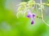 _DSC1985 (Yiing Juii) Tags: 2018 wisteria 紫藤