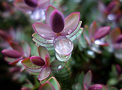 Drops (majka44) Tags: drop water reflection colors light macro pink green park plant flora england 2018