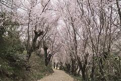 At the mountain road where cherry blossoms began to bloom._A9_8327 (nabe121) Tags: sony α9 ilce9 fe emount sonyalpha sigma 24105mm f4 dg os hsm art a013 samount mount converter mc11 sae silkypix silkypixdeveloperstudiopro8 さくら 桜 cherry blossom サクラ 花見山 hanamiyama ふくしま 福島 fukushima うつくしまふくしま