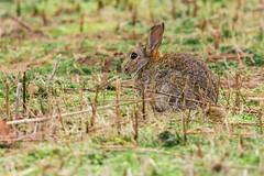 Easter Bunny (iantaylor19) Tags: warwickshire wildlife trust rabbit brandon marsh