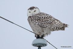 Snowy Owl (F) (YEGBirder) Tags: snowyowl owl sturgeon