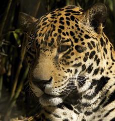 Saban (ucumari photography) Tags: ucumariphotography rangeofthejaguar jaguar pantheraonca animal mammal jacksonville fl florida zoo march 2018 dsc1962 specanimal
