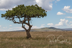 Tree Climbing Lions of the Serengeti (robsall) Tags: 2016 24105 24105f4isusm 5dm3 5dmark3 5dmarkiii 5dmiii africa africatourism africawildlifephotography africanplains africanwildlife big bigcat bigcats canon canon24105f4isusm canon24105mm canon5d canon5dmarkiii canon5dm3 canoneos canoneos5dm3 carnivore cat endangered family feline landscape largefelines lion lioness lions mammal pantheraleo predator robsallaeiral robsalldrone robsalldronephotography robsallphotography robsallwildlifephotography serengetinationalpark tanzania tanzania2016 treeclimbinglion treeclimbinglions vacation vulnerable mararegion tz