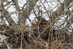 Female Bald Eagle settles in on her nest